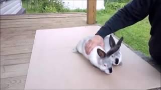 Разведение кроликов Калифорнийской породы