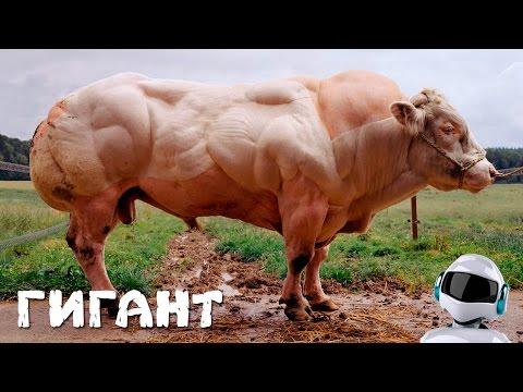 НАКАЧЕННАЯ СУПЕР КОРОВА / БЕЛЬГИЙСКИЙ МОНСТР
