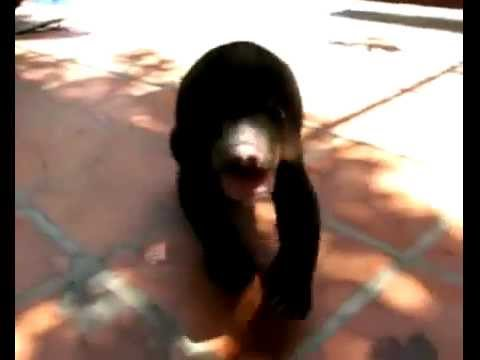Save the forest engineers : Sun bears