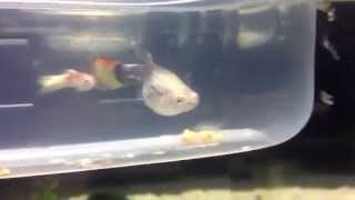 Our guppy fish giving birth having baby guppies ....then eats them