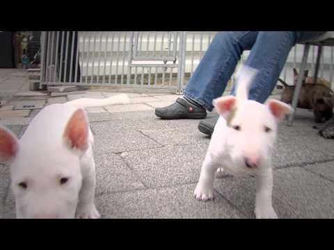 Mini Bull Terriers WeShootit puppies From Friar's Point