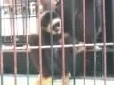 福岡市植物園 「シロテナガザルの赤ちゃん」
