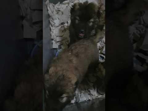 Dünyanın En Iyi Koruma Ve Bekçi Köpeği