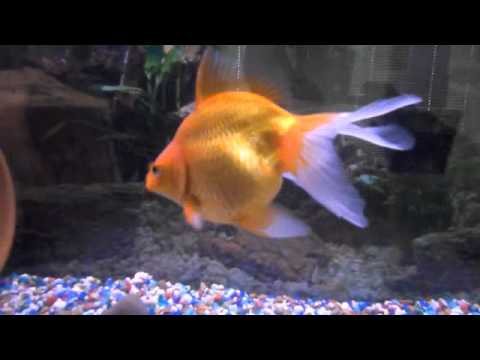 Pet fish with names goldfish and tropical youtube for Names for pet fish