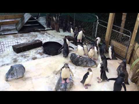 Penguins at Otago Peninsula, New Zealand