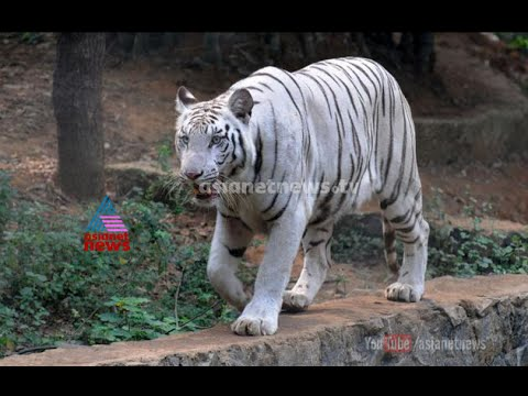 Curious Visitors Flock Delhi Zoo to See White Tiger