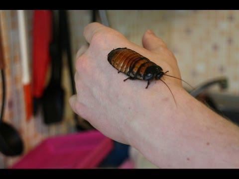 Мои мадагаскарские шипящие тараканы