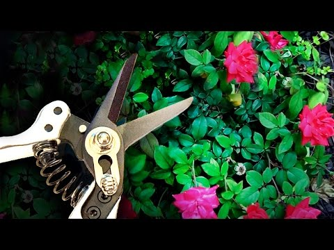 Product Review   Basilica Botanica Micro Pruning Shears
