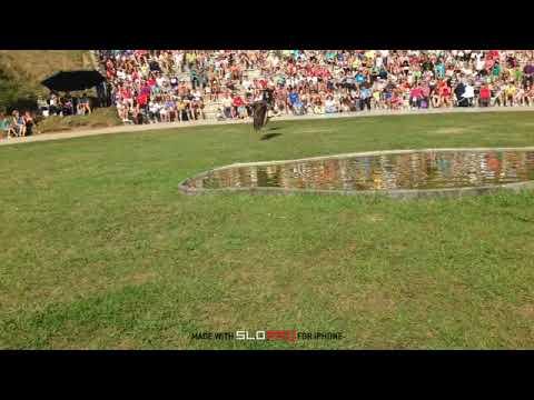 Águila  Real Cazando Exibicion