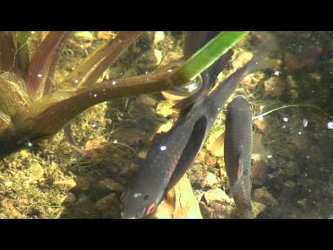 Fische bitterling videolike for Goldorfe gartenteich