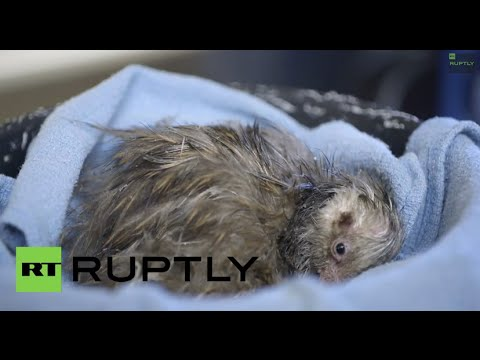 usa world 39 s cutest chick this baby kiwi will melt your heart youtube. Black Bedroom Furniture Sets. Home Design Ideas