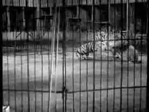 Big Cage Lion vs Tiger (Good Quality Version)