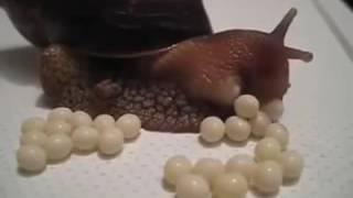 Cận cảnh ốc sên đẻ trứng .