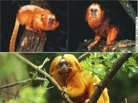 Os Primatas -The Primates-badu imóveis