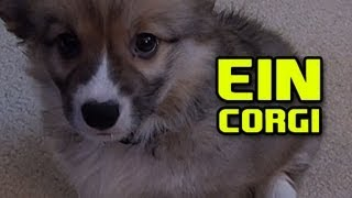 Ein The Puppy CORGI ft. Going up the steps attempt
