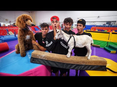 DOG VS GOAT GYMNASTICS CHALLENGE! (super funny)