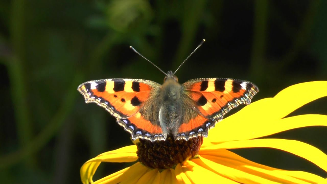 kleiner fuchs schmetterling butterfly panasonic x909 for creative commons youtube. Black Bedroom Furniture Sets. Home Design Ideas