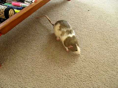 cute rats being naughty
