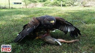 Falconry: Preparing for free flights and hunting