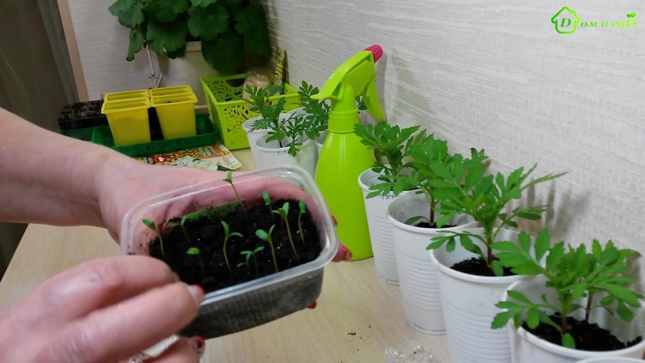 Когда высаживать на рассаду семена бархатцев 90