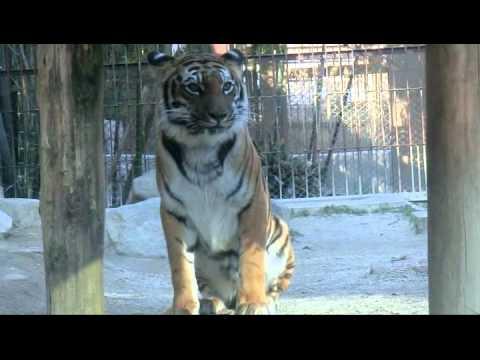 トラのゲロ ( Tiger's vomit )