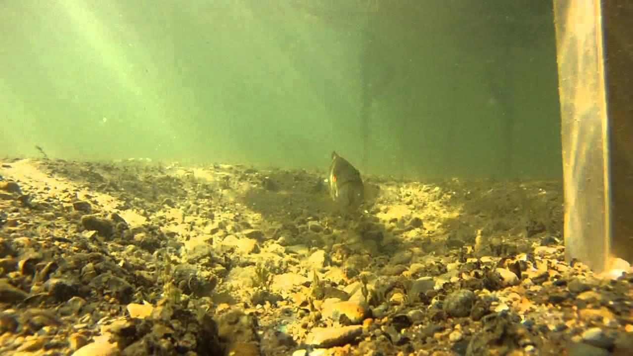 Small mouth bass garding nest elizabeth lake waterford for Lake elizabeth fishing