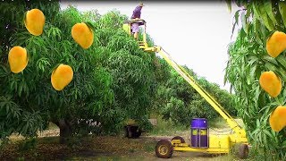 How to Mango Picking - Mango Harvesting - Awesome Mango Farm Agriculture Technology Machine