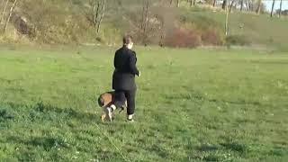 Amazing malinois tricks