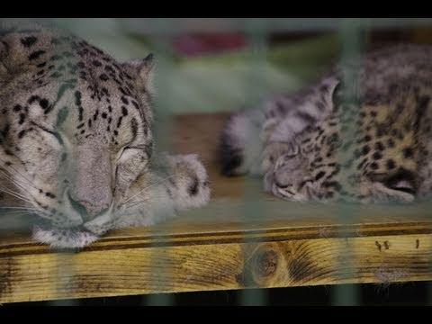 ユキヒョウの赤ちゃん離乳が始まる~Snow Leopard Baby who begins to eat meat