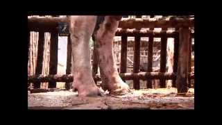 Beef Fattening SPL 03 গরু মোটাতাজাকরন