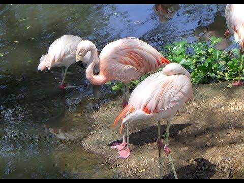 Flamenco, Córdoba's Zoo, Córdoba, Córdoba Province, Argentina, South America