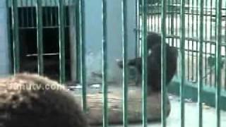 Un singe du parc de Hann entrain de fumer, incroyable!!!