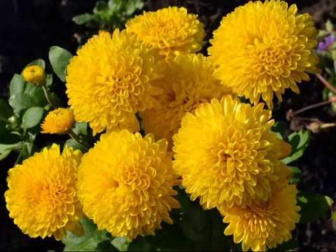 ХРИЗАНТЕМЫ Наталия Муравьева Отцвели уж давно хризантемы в саду Русские романсы
