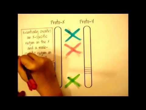 Why, oh Y? - The evolution of the Y chromosome