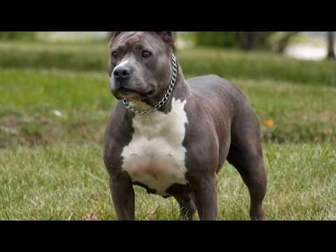 Rottweiler vs Pitbull. Pelea a Muerte