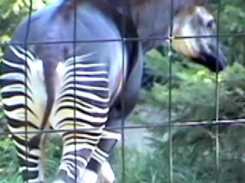 Strange Zebra Horse Giraffe Cross bred Okapi