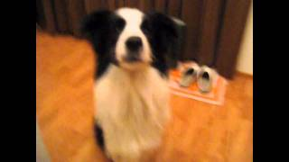Border Collie talking