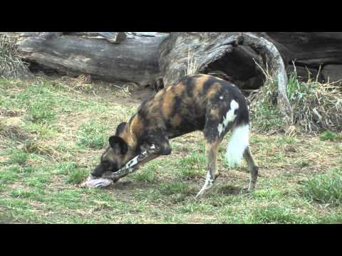 Denver Zoo welcomes two new African wild dogs