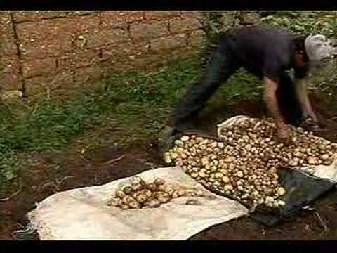 Producción de semilla de papa. Parte 2