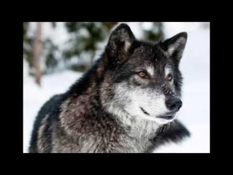 Князь (Княzz) - Волчица