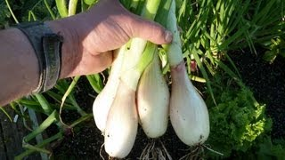 Allotment Diary : How to grow Shallots from seed.