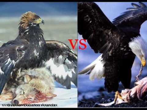 AGUILA REAL VS AGUILA CALVA