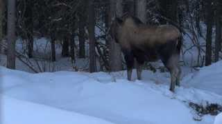 Moose Visits for Lunch