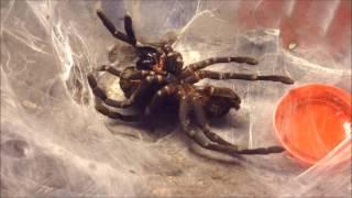 Cyriopagopus minax molting in time-lapse