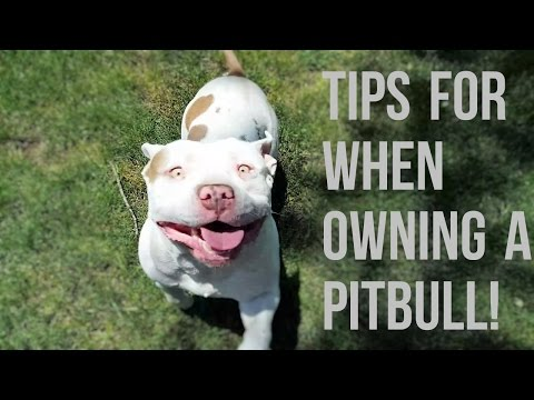 Advice On Owning A Pitbull