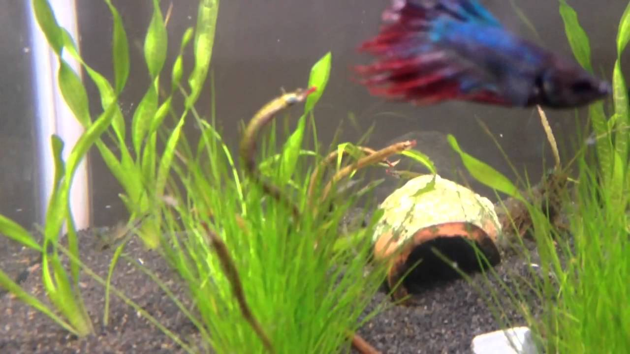 Enneacampus ansorgii - freshwater pipefish pt2 - YouTube