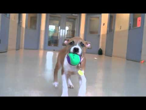 American Pit Bull Terrier mix puppies available for adoption at the Wisconsin Humane Society