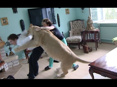 Lion attacks man at home