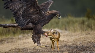 EAGLE VS WATER CHEVROTAIN - detected eagle prey patiently caught by