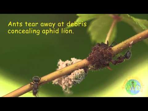 Attack of the Aphid Lions